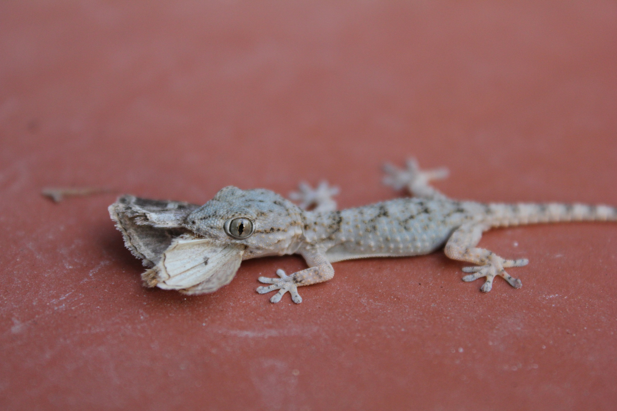 a frequent visitor to our patio Gecko