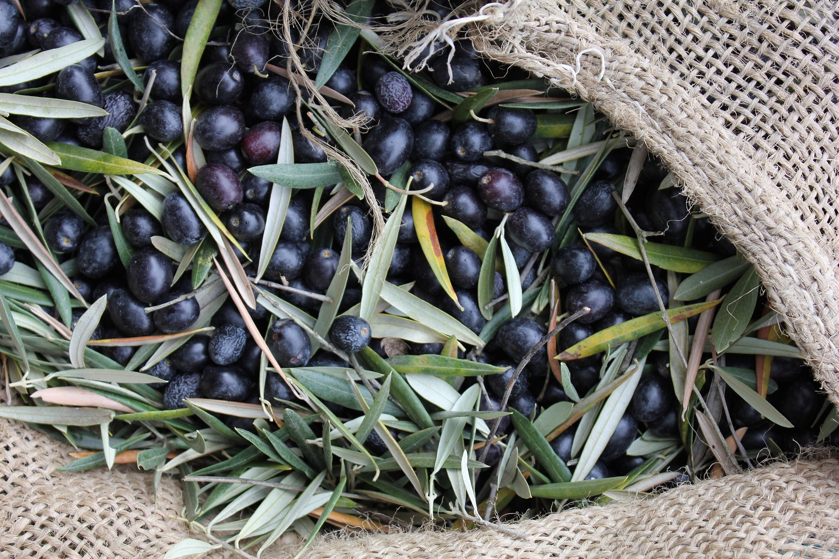 organic olives from our land gourmet b&b Finca Las Encinas